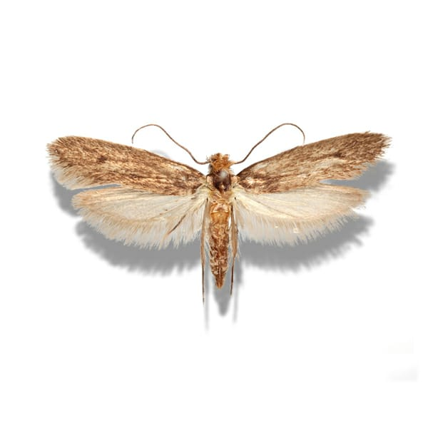 Case Making Clothes Moth